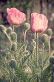 Vintage photo of poppies Stock Image