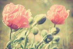 Vintage photo of poppies Stock Image
