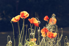 Vintage photo of poppies Royalty Free Stock Image