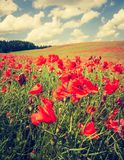 Vintage photo of poppy field Stock Photography