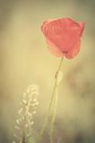 Vintage photo of a poppy flower Stock Photography