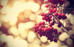 Vintage photo of a red berries Stock Image