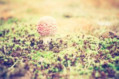 Vintage photo of red toadstool Stock Photo
