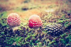 Vintage photo of red toadstool Royalty Free Stock Photos