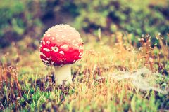 Vintage photo of red toadstool Stock Photography