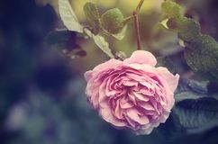 Vintage photo of a rose flowers Royalty Free Stock Photography
