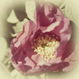 Vintage photo of a rose with grain Stock Photo