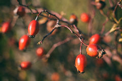 Vintage photo of rosehip Stock Photography