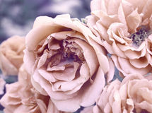 Vintage photo of roses. In retro style Royalty Free Stock Photography