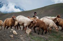 Vintage photo of shepherd herding his flock of sheep Royalty Free Stock Image