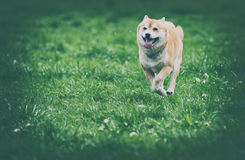 Vintage photo of shiba inu dog. On grass Royalty Free Stock Photos