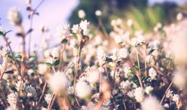 Vintage photo of small white grass flowers. Blur front focus, film filter effect style stock photo