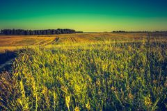 Vintage photo of sunset over corn field at summer Stock Images