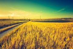 Vintage photo of sunset over corn field at summer Royalty Free Stock Photography