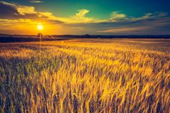 Vintage photo of sunset over corn field at summer Stock Photo