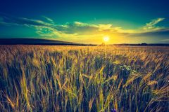Vintage photo of sunset over corn field at summer Royalty Free Stock Images