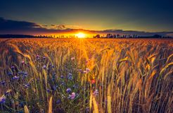 Vintage photo of sunset over corn field at summer Stock Photography