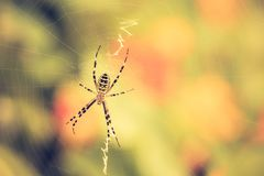 Vintage photo of tiger spider Royalty Free Stock Photography
