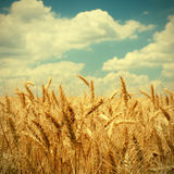 Vintage photo of wheat field Royalty Free Stock Image