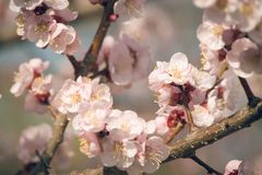 Vintage  photo of white apricot tree flowers in spring Royalty Free Stock Images