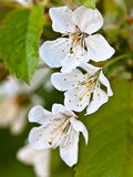 Vintage photo of white cherry tree flower in spring. Floral background royalty free stock photo