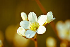 Vintage photo of white cherry tree flower in spring. Floral background royalty free stock images