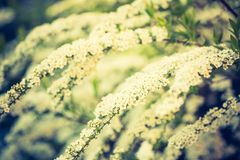 Vintage photo of white spirea blooming. In beautiful hedge. Close up of springtime white flowers Royalty Free Stock Photography