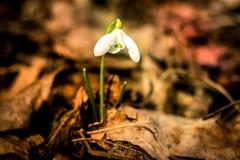 Vintage photo. White spring flowers, snowdrops, snowflake, primrose plants Royalty Free Stock Photo