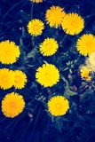 Vintage photo of yellow dandelions blooming Royalty Free Stock Photography