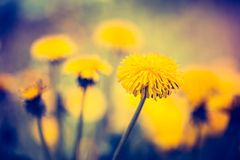 Vintage photo of yellow dandelions blooming. Vintage photo of beautiful yellow dandelions flowers close up. Springtime flowers in nature Royalty Free Stock Images
