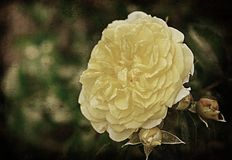 Vintage photo of a yellow rose Royalty Free Stock Photos