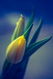 Vintage photo of yellow tulip flower. Beautiful springtime flower bouquet Stock Photography