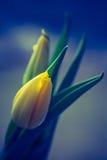 Vintage photo of yellow tulip flower Stock Photography