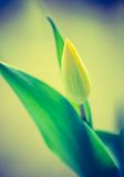 Vintage photo of yellow tulip flower Stock Image