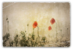 Vintage Photograph of Poppies in Field Royalty Free Stock Photos