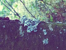 Vintage photos with a lichen on the tree. Background vintage photos with a lichen on the tree Royalty Free Stock Images