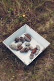 Vintage pine cones on forest grass Stock Photos