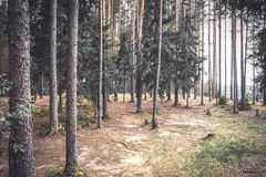Vintage pine forest edge with ground covered with fir needles. Vintage pine forest edge withtree trunks and  ground covered with fir needles Royalty Free Stock Photos