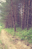 Vintage pine forest with mud road Royalty Free Stock Photo