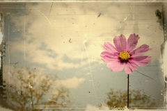 Vintage pink daisy blowing in the summer Royalty Free Stock Photos