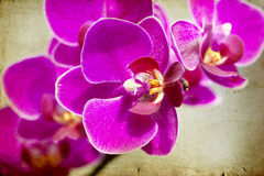 Vintage Pink orchid Stock Photos
