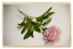 Vintage pink peony. Old vintage and antique postcard of a pink peony Royalty Free Stock Photos