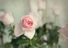 Vintage pink rose Royalty Free Stock Photos