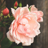 Vintage pink rose. Stock Photo