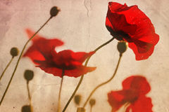 Vintage poppies. Bright red poppies on vintage damaged grainy background, selective focus Stock Images