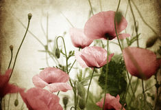 Vintage poppies Stock Photography