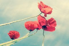 Vintage poppies Stock Image