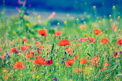 Vintage poppies field. Red poppies in a meadow on a sunny day Stock Photos