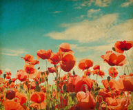 Poppy field against blue sky. Stock Image