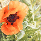 Vintage poppy flower. Royalty Free Stock Photography